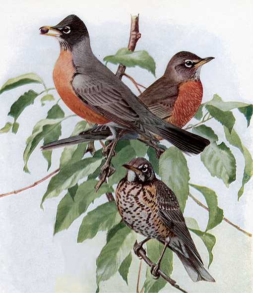 Painting of American robin adults and one offspring perched in a tree thick with leaves in the background.