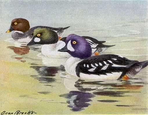 Barrow's goldeneye with two common goldeneyes in the background in water.