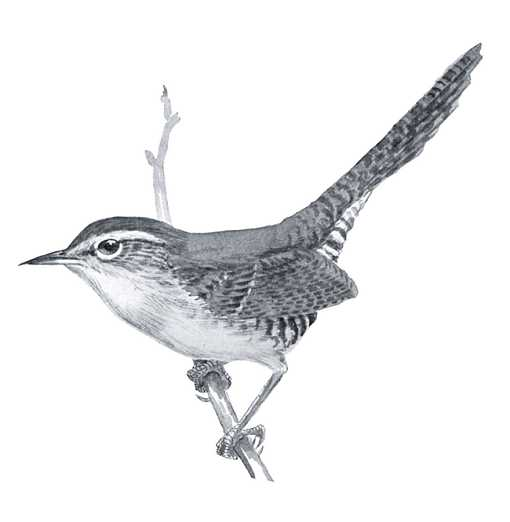 Beautiful black and white drawing of Bewick's wren on a tree branch.