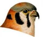 See species information for the Kestrel