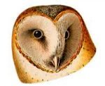 See species information for the barn owl