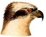 Visit the osprey species page.