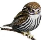 Read species information for the pygmy owl