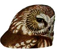 Visit the saw-whet owl species page.