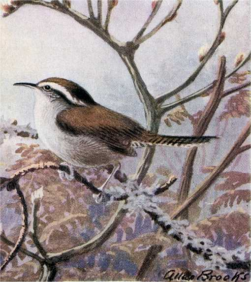 Bewick's wren perched on a bush twig with shrubbery and leaves in a foggy background
