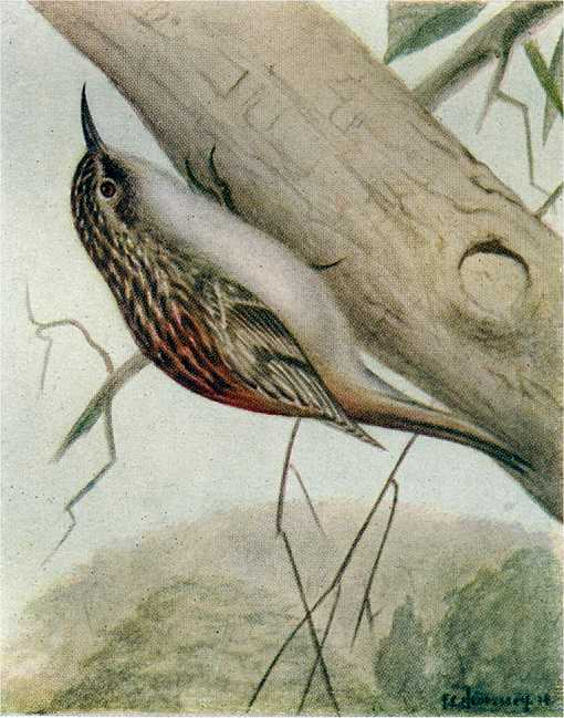 Painting of a Brown Creeper on the underside of a partially fallen timber with a vegetated hill in a foggy haze in the background.