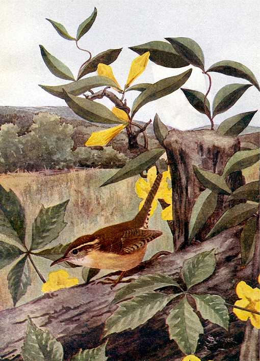 Painting of a Carolina wren foraging along fallen timber with flowers and vegetation in the background