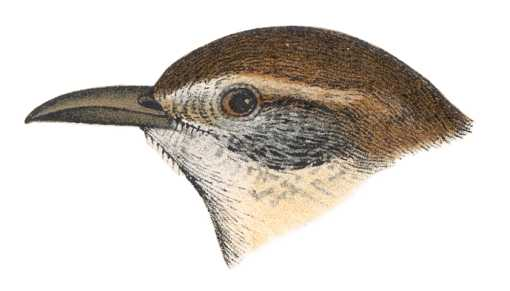 Visit the Carolina wren species page.