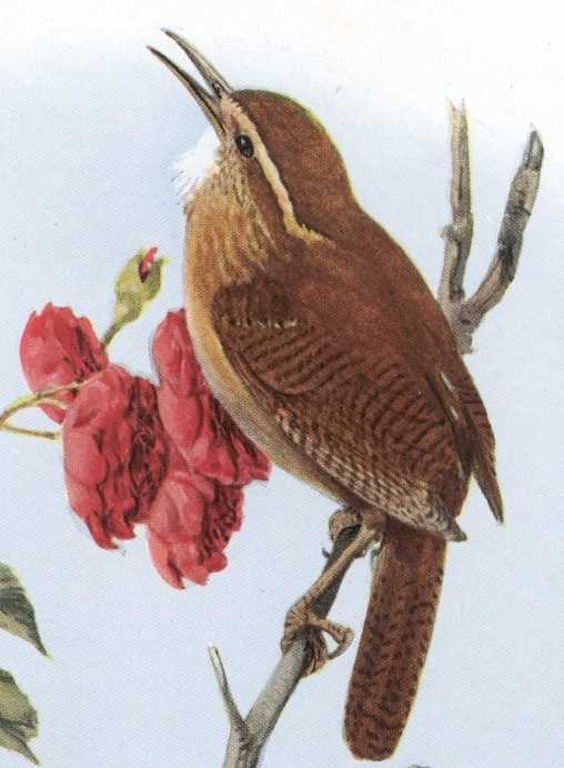 Painting of Carolina wren singing while perched on a twig and flower in the back ground
