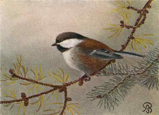 Painting of a chestnut-backed chickadee perched on a coniferous tree branch