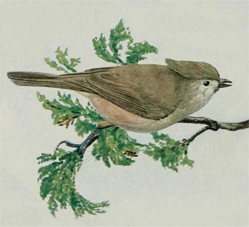 Painting of an oak titmouse perched on a tree branch