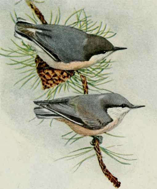 Painting of pygmy nuthatches male and female perched on a conifer tree branch