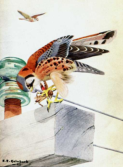 Painting of an American kestrel perched atop a power line pole, eating a grasshopper.