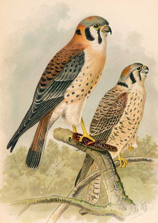 Painting of an American kestrel pair perched high in a tree top in a forest, one with a large grasshopper in its talons.