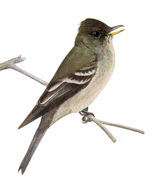 Ash-throated flycatcher perched on a twig.