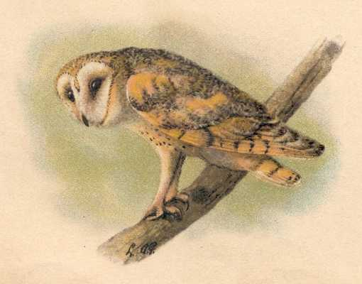Painting of a barn owl on a branch.