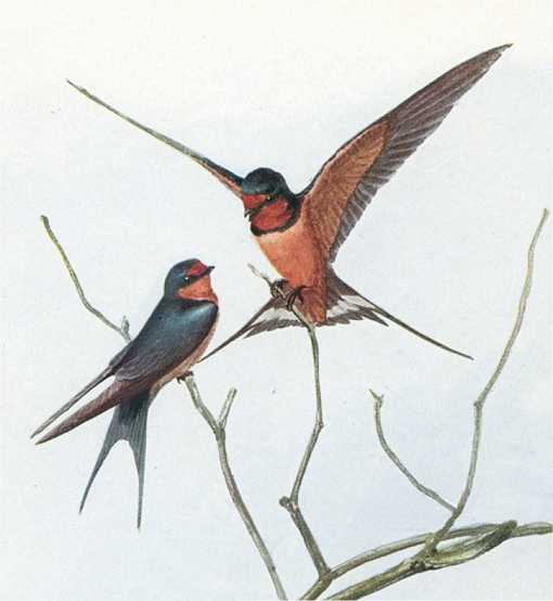 Painting of barn swallows perched high on tree top branches.