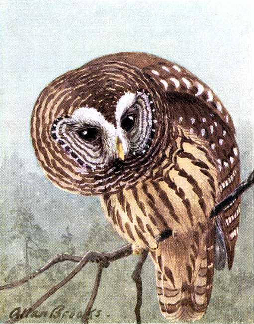 Painting of a barred owl perched on a branch in a foggy coniferous forest.