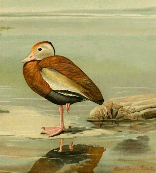 Painting of black-bellied tree duck standing on a shore among rocks by a lake.