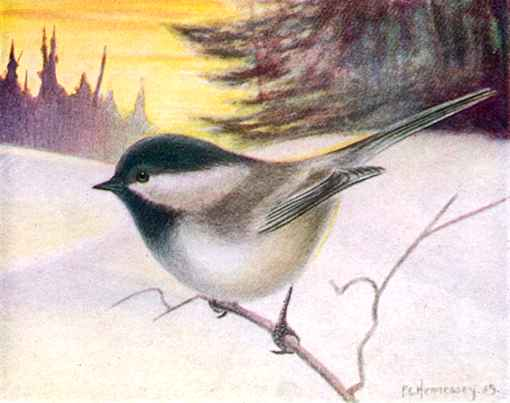 Black-capped chickadee perched on a tree twig in a snowy winter background.