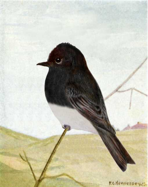 Painting of black phoebe perched on a twig in a background of hills and distant buildings.