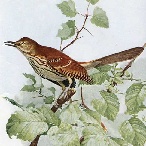 Painting of brown thrasher perched among vine branches and green leaves.