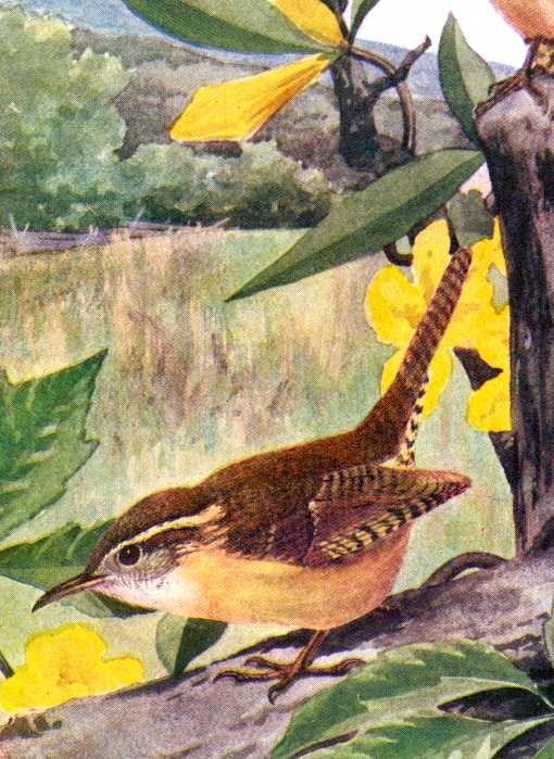 Painting of a Carolina wren foraging along fallen timber with flowers and vegetation in the background.