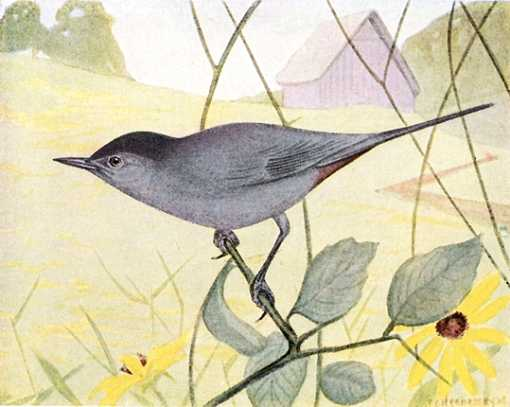 Water color painting of catbird perched in vine foliage with farm and field in the background.