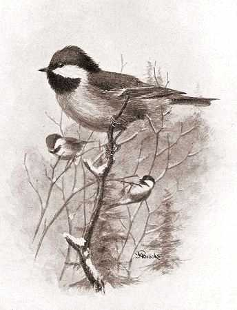 Illustration of chestnut-backed chickadees on tree branches in a wintery forest.