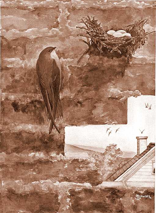Painting of chimney swift clinging to the inside of a brick chimney near its nest.
