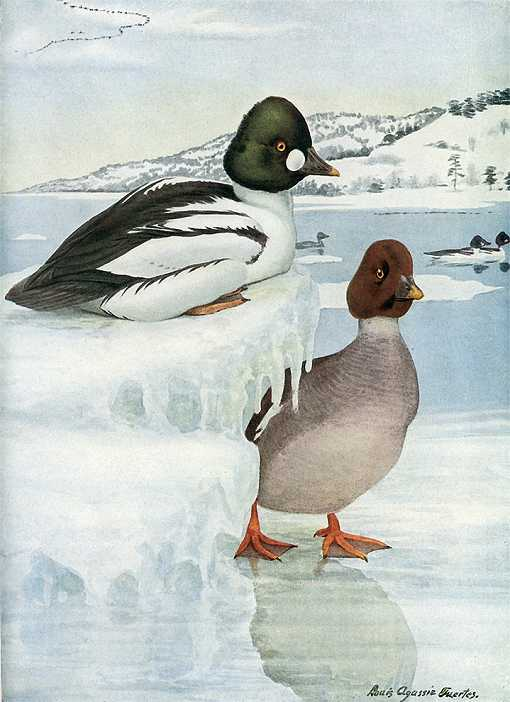 Painting of common goldeneyes perched on an iced over lake.