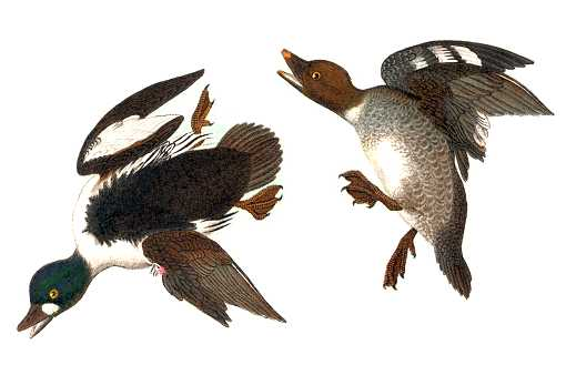 Painting of Common Goldeneyes in typical Audubon bird contortions.