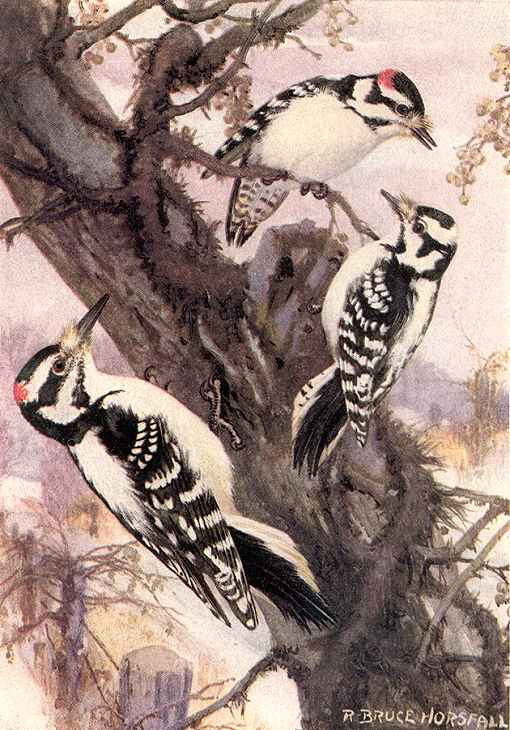 Painting demonstrates size difference between a hairy woodpecker and two smaller downy woodpeckers.