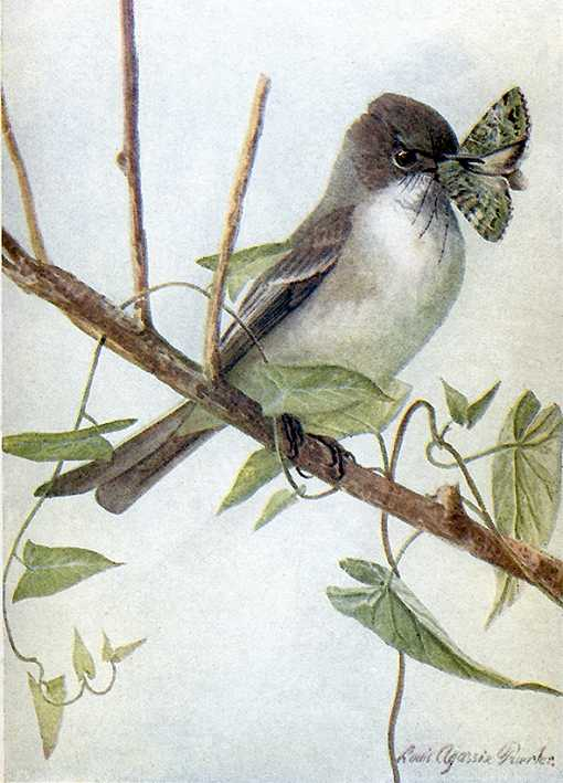 Painting of an eastern phoebe perched on a twig with a moth in its bill.