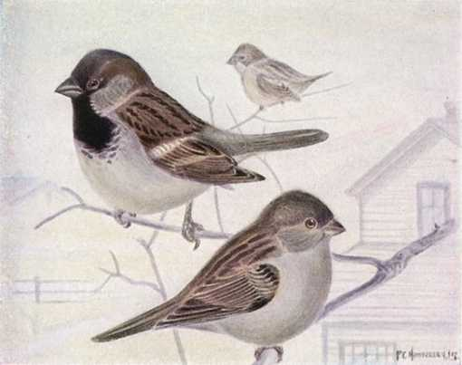 Painting of an English sparrow pair perched on tree branches with a house in the background.