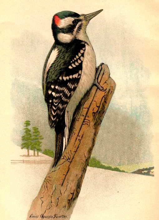 Hairy woodpecker perched on a fallen tree trunk in a wintery setting.