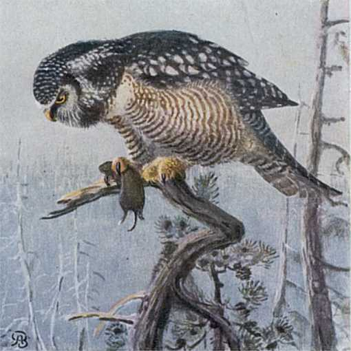 Painting of a hawk owl perched in a tree with its prey in talons.