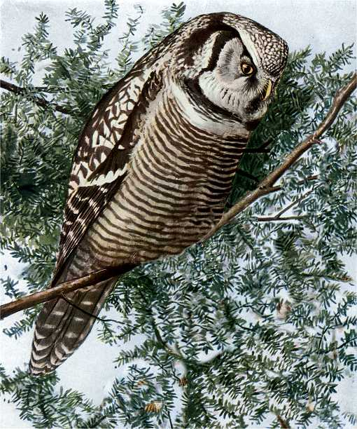 Painting of a hawk owl perched in a coniferous tree.