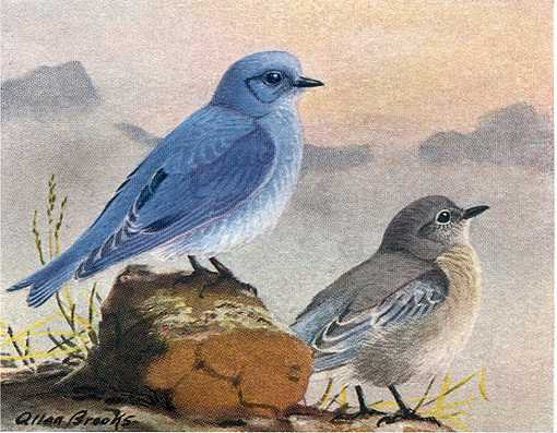 Painting of a mountain bluebird adult and juvenile perched on rocks and mountain peaks in the background.