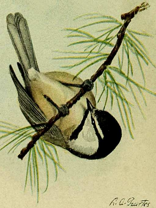 Painting of a mountain chickadee hanging upside down from a coniferous tree twig.