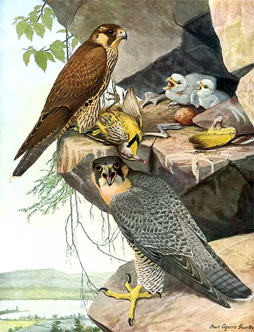 Painting of peregrine falcon parents and young in their high rock outcropping nest.