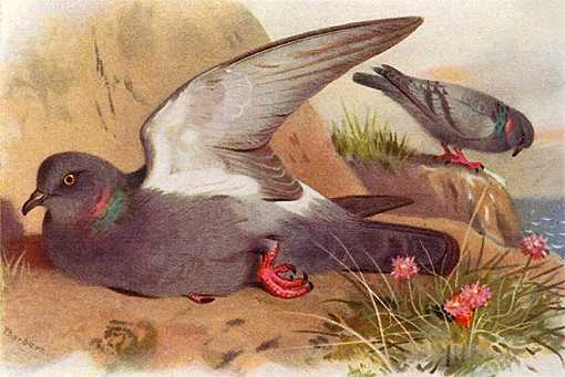 Painting of two pigeons in a grassy ocean shore habitat.