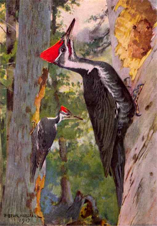Painting of a pileated woodpecker pair near their tree cavity entrance hole.