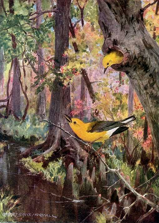 Painting of a prothonotary warbler pair in and around the entrance to a tree cavity in a cypress forest swamp full of foliage.
