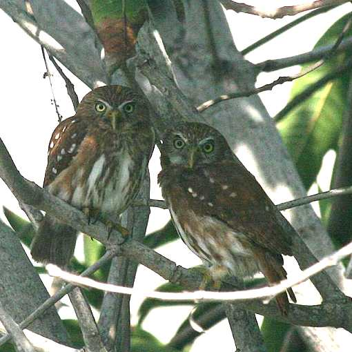 Pygmy owl pair perched in a tree.