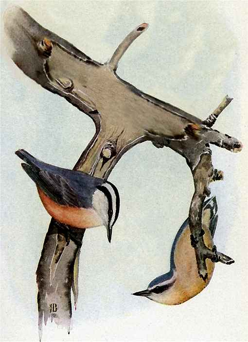 A painting of red-breasted Nuthatches foraging on a tree limb
