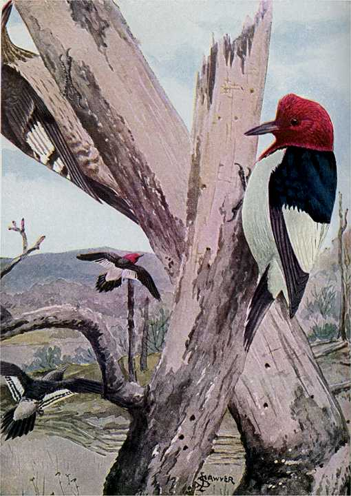 Painting of red-headed woodpeckers on dead tree trunks with field and hills in the background.