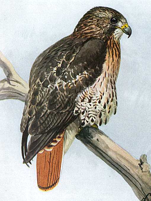 Painting of a red-tailed hawk perched high on a large, bare tree branch.
