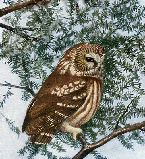 Painting of a saw-whet owl perched in a coniferous tree.