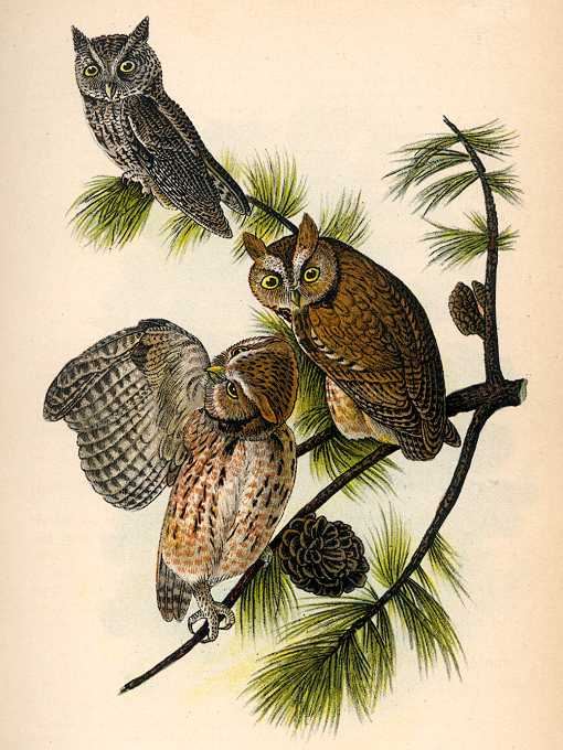 Painting of 3 screech owls on a long leaf pine tree with pine cones by John James Audubon